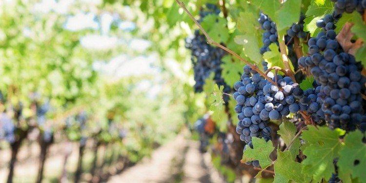 purple-grapes-553462_1920
